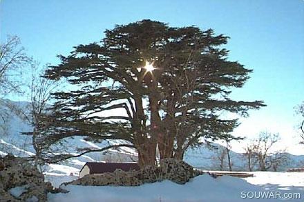 Lebanese photos and pictures of lebanon cedars - Cedre bleu du liban ...