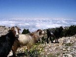 Goats Above The Clouds, Kamoua National Park