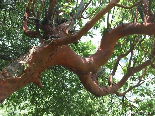 Madrone Tree , So Frequent In This Area