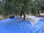 Collecting the olives in Mlikh